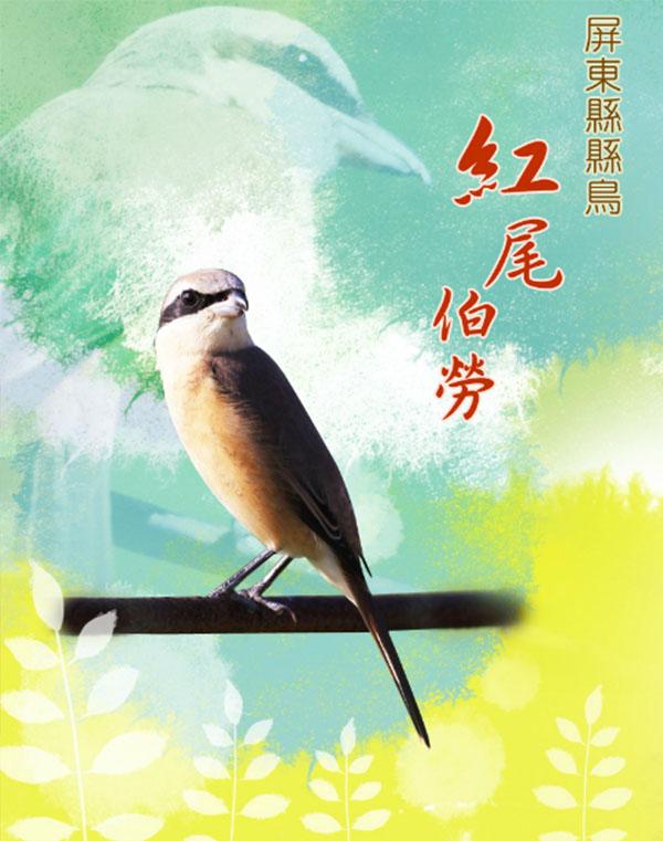 屏東縣縣鳥-紅尾伯勞